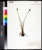 Sisyrinchium montanum image