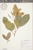 Image of Nephelium lappaceum
