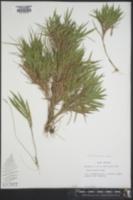 Image of Panicum malacon