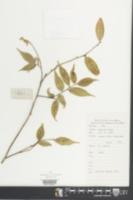 Image of Camellia caudata
