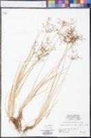Fimbristylis miliacea image