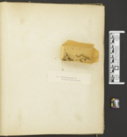 Clavulinopsis helvola image