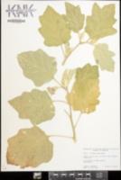 Solanum melongena image