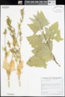 Atriplex micrantha image
