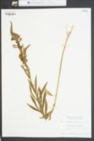 Physostegia virginiana ssp. virginiana image