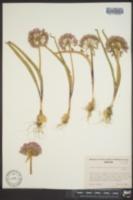 Allium tolmiei var. platyphyllum image