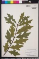 Quercus austrina image