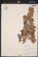 Quercus cedrosensis image