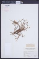 Image of Corrigiola squamosa
