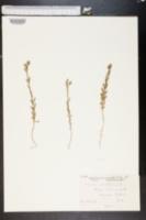 Image of Linum nodiflorum