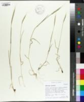 Aegilops tauschii image