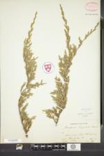 Juniperus horizontalis image