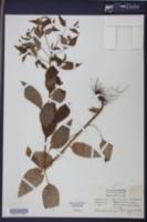 Image of Lappula virginiana