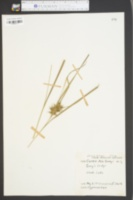 Carex asa-grayi image