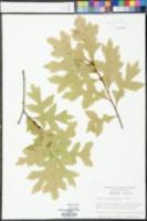 Quercus georgiana image