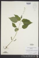 Circaea canadensis image