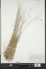 Muhlenbergia uniflora image