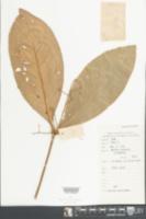 Image of Ardisia humilis