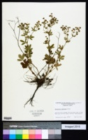 Image of Potentilla canescens