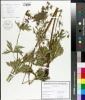 Image of Geranium pratense
