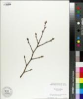 Stewartia sinensis image