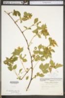 Image of Rubus exsularis