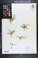 Aphanes australis image