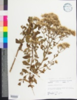 Image of Eupatorium glaucescens