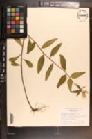 Image of Oenothera tetragona