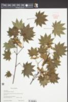 Acer sieboldianum image