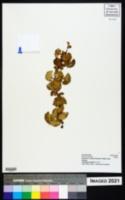Image of Alchemilla cyclophylla