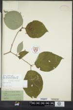 Cornus rugosa image