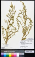 Atriplex pentandra image