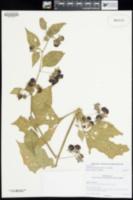 Jaltomata procumbens image