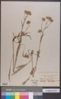 Symphyotrichum spathulatum image