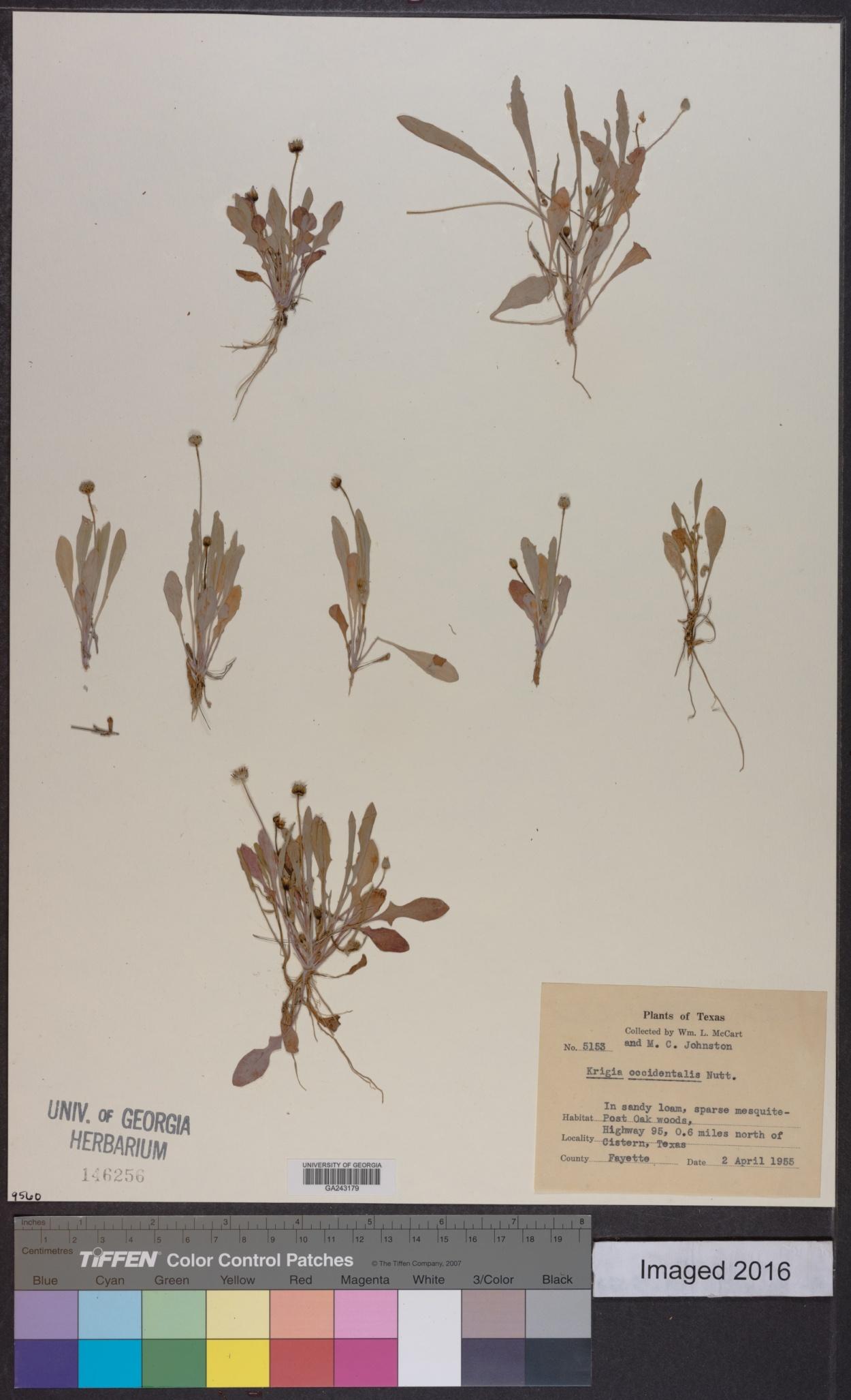 Krigia occidentalis image