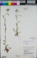 Gamochaeta ustulata image