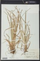 Carex anceps image