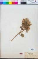 Eucnide urens image