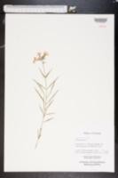 Image of Phlox floridana