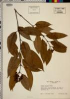 Image of Vismia laxiflora
