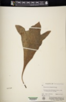 Image of Platycerium madagascariense