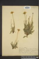 Lygodesmia texana image