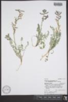 Astragalus mollissimus var. thompsoniae image