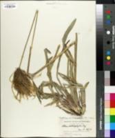 Image of Eustachys distichophylla