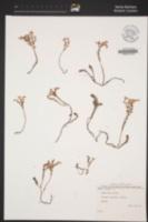 Sedum sexangulare image