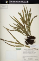 Image of Pleopeltis furcata
