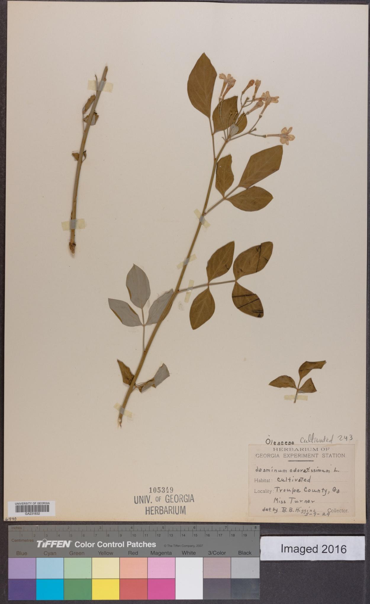 Jasminum odoratissimum image