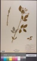 Image of Jasminum odoratissimum