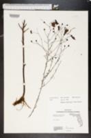 Image of Agalinis divaricata
